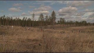 В Тольятти волонтеры высадили более 25 тысяч сосен