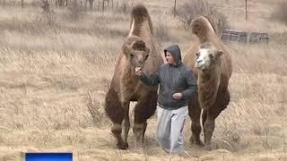 В областном природном заповеднике верблюды Маша и Миша впервые стали родителями