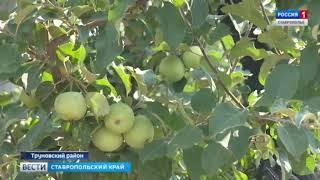 Ставропольские садоводы покажут, где яблоки зимуют