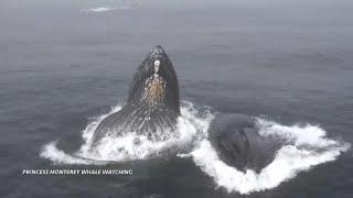Горбатые киты удивили туристов