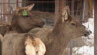 В Рузаевском районе браконьеры убили благородных оленей