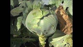 Узнаем о лучших сортах капусты. Дачные советы от 18.10.2018