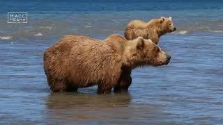 Убили медведей-людоедов   Новости сегодня   Происшествия   Масс Медиа