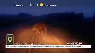 На трассе в Башкирии водитель заснял на видео дикого кабана
