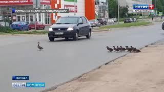 В Котласе беспечная мать-утка создала дорожный коллапс в центре города