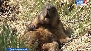 В Горном Алтае специалисты двух стран пытаются защитить животных от африканской чумы