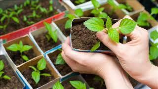 И в саду, и в огороде - 19.02.18 Рассады цветов: правила выращивания