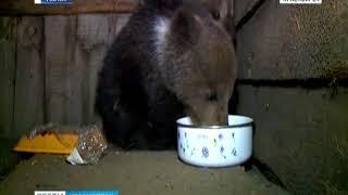 В Канске заблудившегося медвежонка поймали с помощью сгущенки