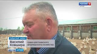 В селе Табунского района гусиная ферма стала «градообразующим» предприятием