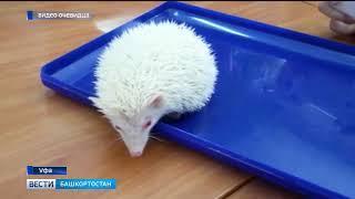 Карликовый ёжик-альбинос поселился в детском центре в Уфе