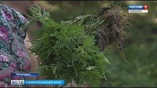 Пятигорчане вышли на борьбу с амброзией