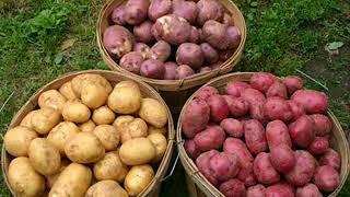 И в саду, и в огороде. Выбираем сорт картофеля для посадки