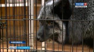Учёные передали новосибирским юннатам одомашненную лису