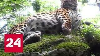 19 котят спасут амурских леопардов от вымирания - Россия 24