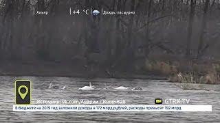 Башкирские лебеди не хотят улетать на юг: видео очевидцев