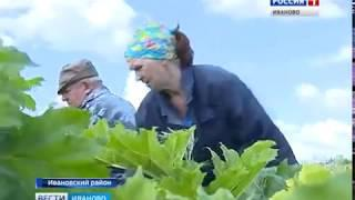Борщевик отвоевывает себе все новые территории в Ивановской области