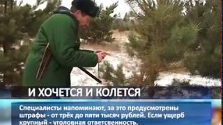 В Самарской области активизировались елочные браконьеры