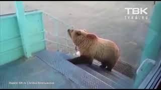Борисыч вахтовик прогнал медведя с территории Красноярский край