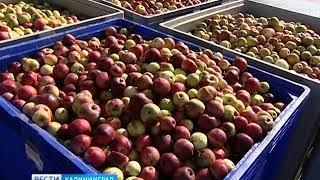 «Натурово» до конца ноября будут принимать фрукты для изготовления сока