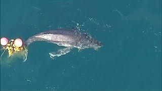Спасение китёнка у берегов Австралии