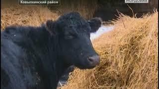 В селе Крутенькое Ковылкинского района разводят элитный племенной скот