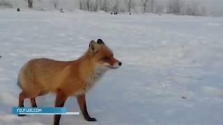 В Саратове из-за бешеной лисы объявлен карантин