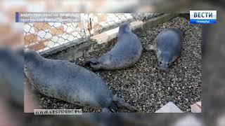 «Вести: Приморье»: В Приморье из реабилитационного центра выпустят на волю тюленей