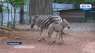 В зоопарке Владивостока возможно еще одно пополнение в вольере полосатых лошадей