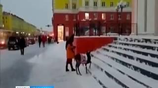 По улицам Норильска выгуливают оленя в свитере с оленями