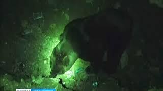 Медведь каждый день приходит на ужин в приисковый поселок Сейба в Курагинском районе