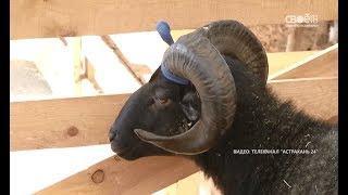 Ставропольские овцы завоевали 30 медалей на всероссийской выставке