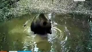 """В красноярском заповеднике """"Столбы"""" сняли, как медведи купаются в луже"""