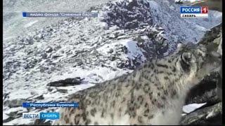 Фотоловушки в горах Бурятии засняли снежного барса