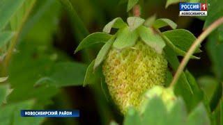 Эксперты дали прогноз на урожай земляники и смородины в Новосибирске