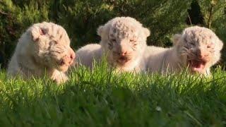 Редкие крымские тигрята
