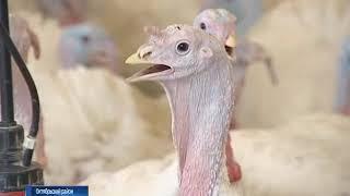 В Октябрьском районе Ростовской области обнаружен птичий грипп