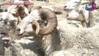В Дагестане проходят купка и перегон скота на летние пастбища