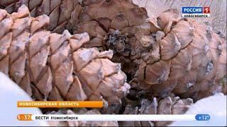 В Новосибирской области открыли сбор кедровых шишек