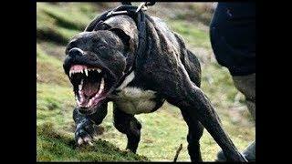 Бойцовая собака против девочки