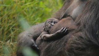 Пополнение в семье даласских горилл