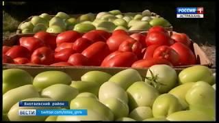 На астраханских полях в разгаре сбор овощного урожая поздних сортов