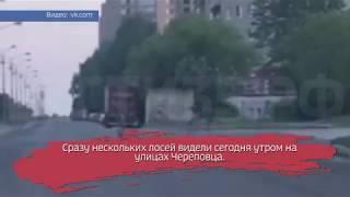 Массовое нашествие лосей в Череповце