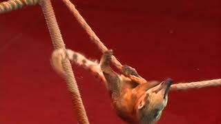 Волнительная премьера: еноты-носухи впервые вышли на манеж  в Ярославском цирке
