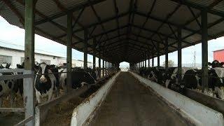 В Кочубеевском районе станут доить коров по уникальным технологиям