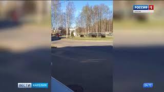 Дикие кабаны в городе Петрозаводске