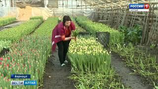 Какие тюльпаны к 8 Марта вырастили в теплицах Барнаула?