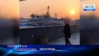 """""""Вести: Приморье"""": Тигры гуляют по улицам Владивостока"""