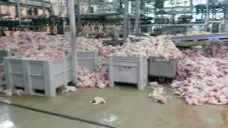 Видео с горами мяса на полу птицефабрики возмутило ставропольцев