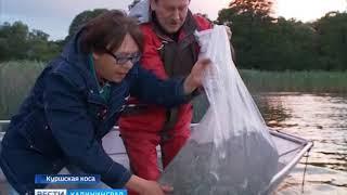 В Куршский залив выпустили 300 тысяч мальков
