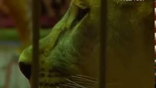 Алжирские львицы и легендарный дрессировщик: уникальное цирковое представление пройдет в Самаре